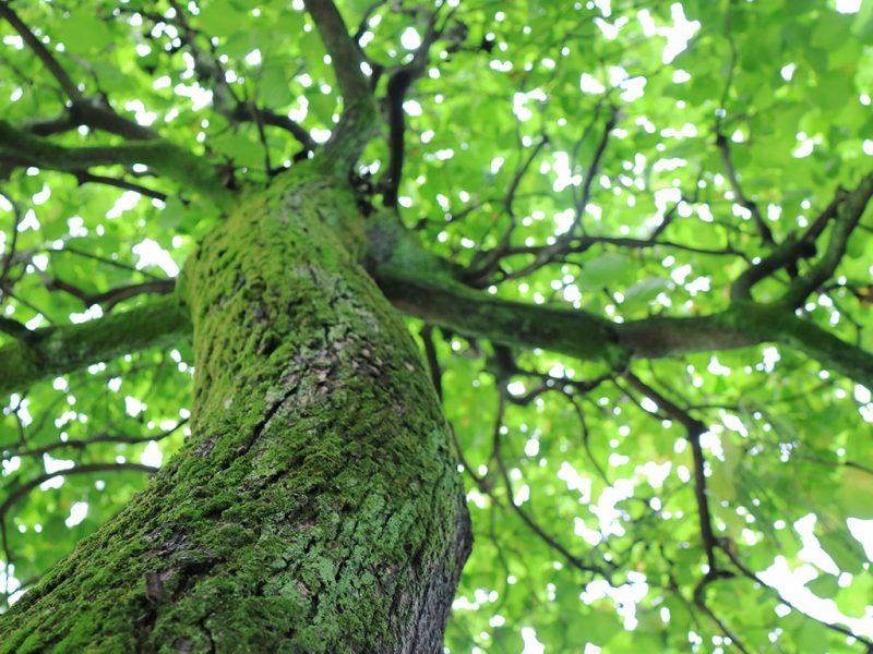 manutenzione albero ad alto fusto